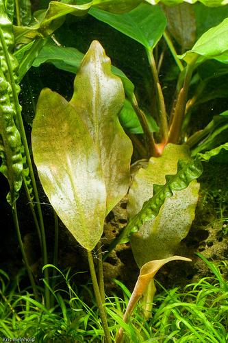 Лагенандра Меебольда (Lagenandra meeboldii)