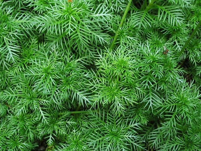 Хоттония или Турча болотная (Hottonia palustris)