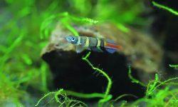 Эпиплатис факельный (Aplocheilus annulatus)